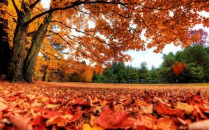 Autumn-Maple-Leaves