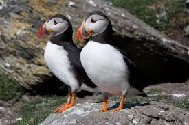 Puffins on Skellig Michael. source: southkerrycamerclub.blogspot.com